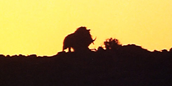 razorback-1984-wild-boar-pig-sunset-review-600x300